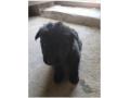 黑熊幼犬出售:母600元、公500元。